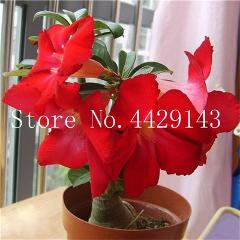 100% True Desert Rose Bonsai Ornamental Plants Balcony Bonsai Potted Flowers Drawf Adenium Obesum Bonsai -1 Particles/lot