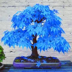20pcs bonsai blue maple tree bonsai  tree plants. rare sky blue japanese maple bonsai Balcony plants for home garden