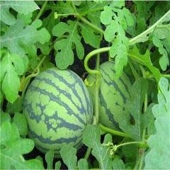 Big sale! 10pcs lazy melon watermelon bonsai red meat juicy fruit green natural edible family balcony garden plant free shipping