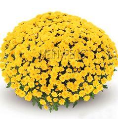 Genuine!100pcs/bag Ground Cover Chrysanthemum bonsai Easy to Grow flower plant for Home Garden Bonsai Plants,#C8V6XZ