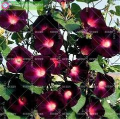 50pcs Mixed Morning Glory Rare Climbing Flower Perennial Bonsai Plants For Home Garden Decor Best Packaging Flower Pot