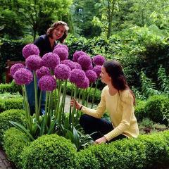 120 pcs/pack Purple Giant Allium Giganteum Beautiful Flower bonsai Garden Plant the budding rate 95% rare flower for kid